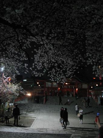 花園神社の夜サクラ2